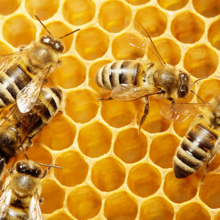 abejas panal: Macro de abeja de trabajo en honeycells.