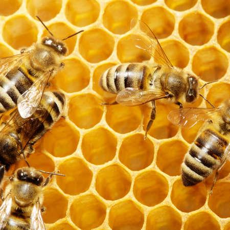 Macro of working bee on honeycells. Фото со стока
