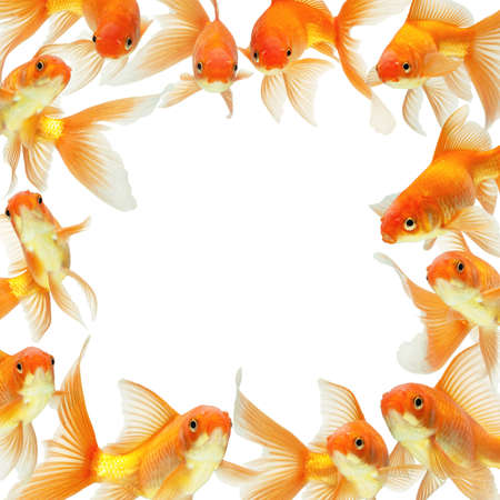 gold fish isolated on white Stock Photo - 7478590