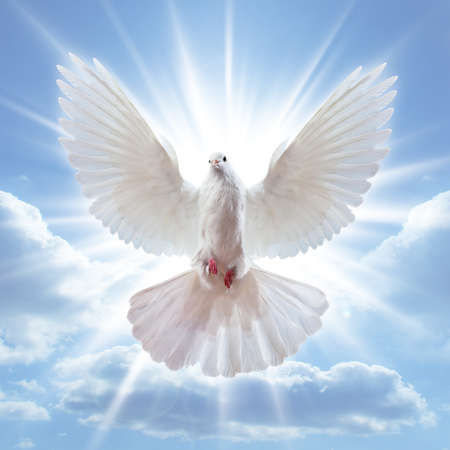 peace of dove: Dove in the air with wings wide open in-front of the sun