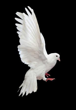 paloma de la paz: Una paloma blanca vuelo libre, aislada en un fondo negro  Foto de archivo