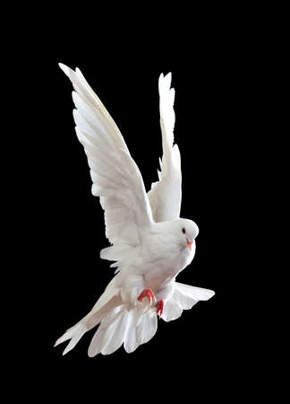 A free flying white dove isolated on a black background Stock Photo - 7475571