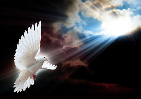 white dove: Dove in the air with wings wide open in-front of the sun
