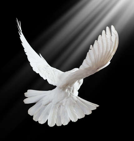 white dove: A free flying white dove isolated on a black background