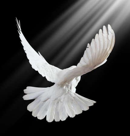 Una paloma blanca vuelo libre, aislada en un fondo negro  Foto de archivo
