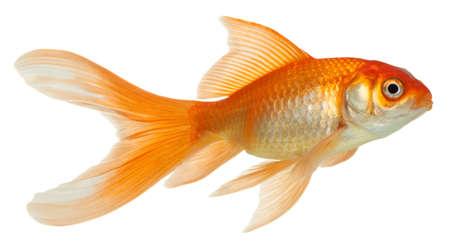 peces de acuario: Peces de oro. Aislamiento en el blanco