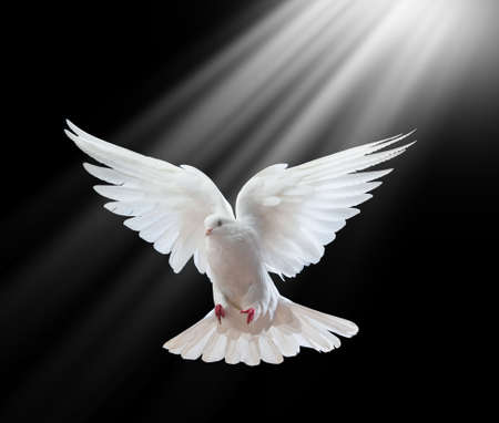 holy spirit: A free flying white dove isolated on a black background