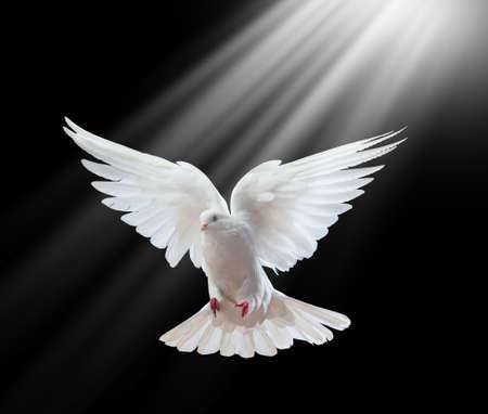 Frei fliegende weiße Taube auf einem schwarzen Hintergrund isoliert