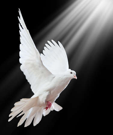 high spirits: A free flying white dove isolated on a black background