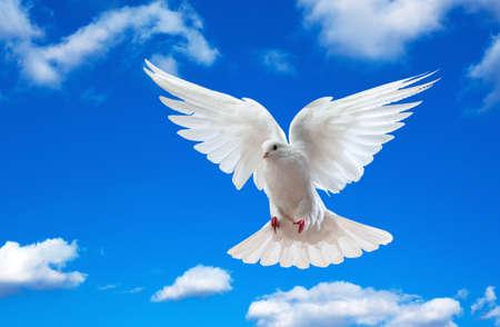Dove en el aire con alas abiertas en frente del cielo azul  Foto de archivo