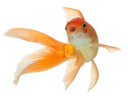 carps: Gold fish. Isolation on the white Stock Photo
