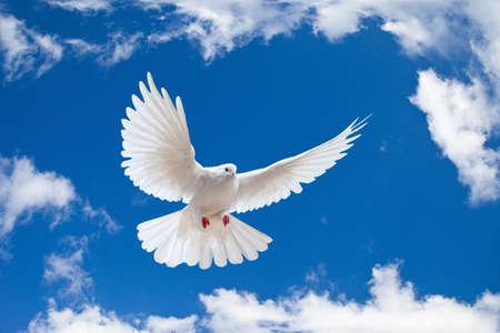 white dove: Dove en el aire con alas abiertas en frente del cielo azul  Foto de archivo