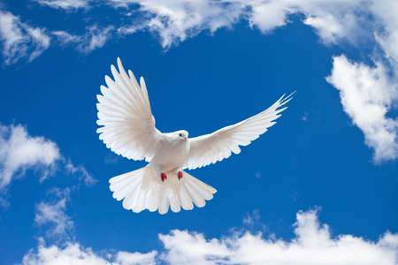 white dove: Dove in the air with wings wide open in-front of the blue sky