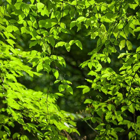 a beech tree forest during spring Stock Photo - 7523838