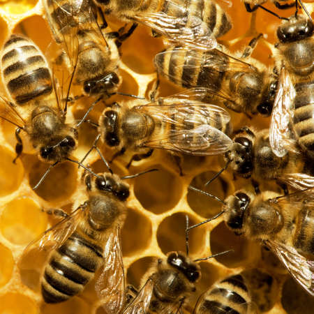 abeja reina: Macro de abeja de trabajo en honeycells.