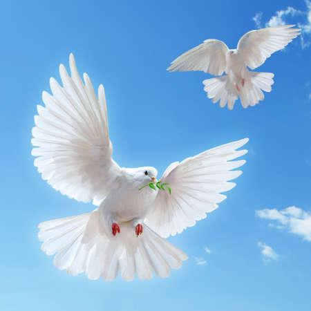 palomas volando: Dove en el aire con alas abiertas en frente del sol