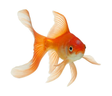 gold fish isolated on white Stock Photo - 7523803