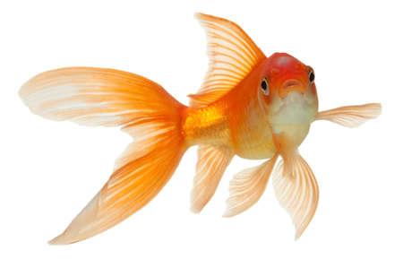 poissons or isolées sur blanc  Banque d'images