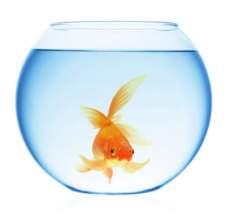 A goldfish jumping out of the water to escape to freedom. White background. Stock Photo - 7611827