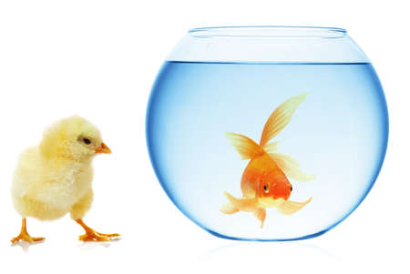 chick and aquarium with gold fish on white photo