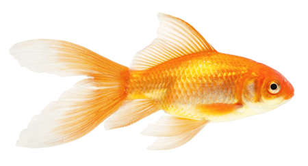 gold fish isolated on white Stock Photo - 7611826