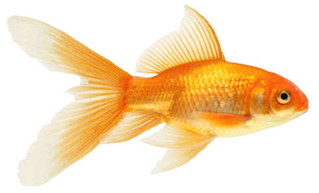 gold fish isolated on white Stock Photo - 7611900