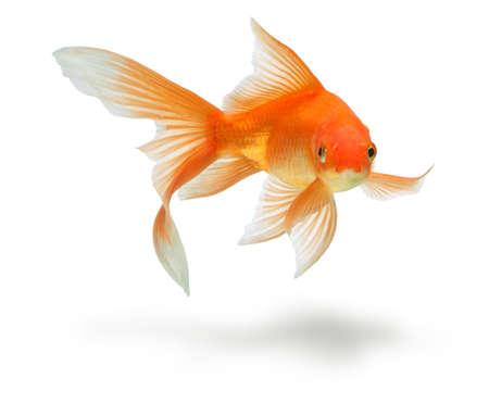 złota rybka: ZÅ'ota ryb. Izolacja na biaÅ'y