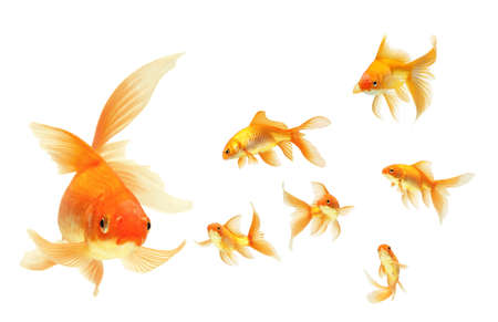 gold fish isolated on white Stock Photo - 7611877