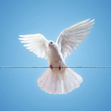 spread wings: Dove in the air with wings wide open in-front of the sun
