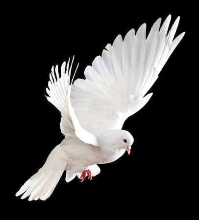 white dove: Una paloma blanca vuelo libre, aislada en un fondo negro  Foto de archivo