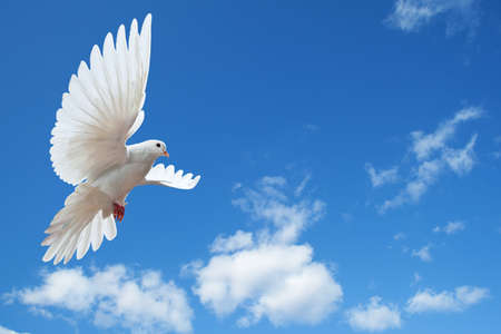 dove flying: Dove in the air with wings wide open in-front of the sun