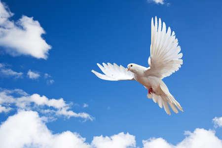 pigeons flying: Dove en el aire con alas abiertas en frente del sol