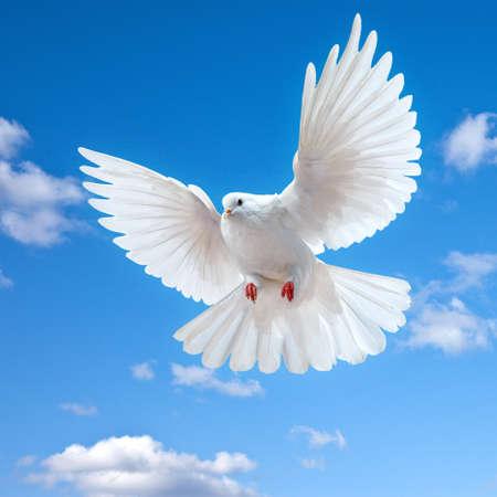 paloma blanca: Dove en el aire con alas abiertas en frente del sol