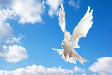 Dove in the air with wings wide open in-front of the blue sky photo