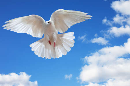Dove in the air with wings wide open in-front of the sun Stock Photo - 7613764