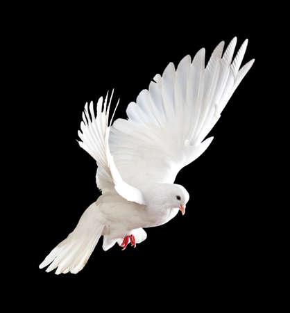 paloma: Una paloma blanca vuelo libre, aislada en un fondo negro  Foto de archivo