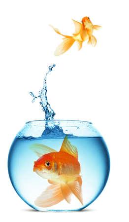 pez dorado: Un pez saltando fuera del agua para escapar a la libertad. Fondo blanco.