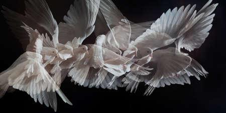 paloma blanca: Una paloma blanca vuelo libre, aislada en un fondo negro  Foto de archivo