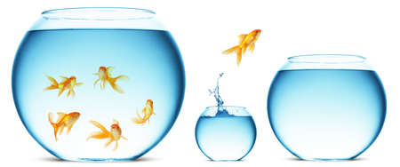 A goldfish jumping out of the water to escape to freedom. White background. photo