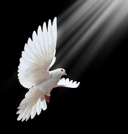 Een vrije vliegende witte duif geïsoleerd op een zwarte achtergrond