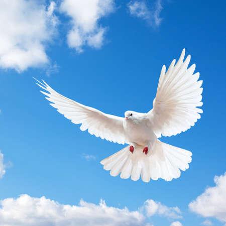 Paloma en el aire con alas abiertas en frente del cielo azul