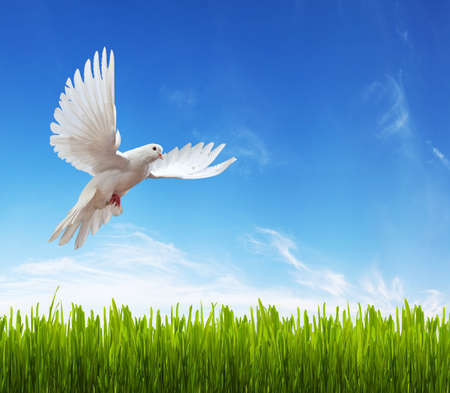 white dove, grass and sky. Background photo