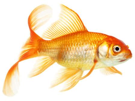Gold fish. Isolation on the white photo