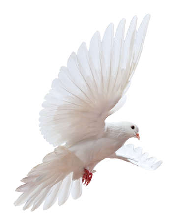 A free flying white dove isolated on a white background Stock Photo - 9039315
