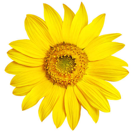 completely: Perfect Sunflower, completely isolated on white background Stock Photo