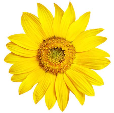 zonnebloem: Perfect Zonnebloem, volledig geïsoleerd op een witte achtergrond Stockfoto