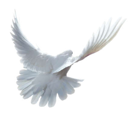 A free flying white dove isolated on a white background Stock Photo - 9039419