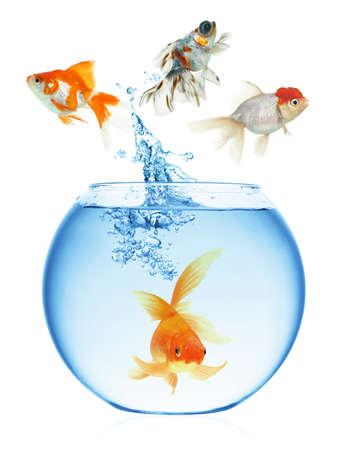 goldfishes: Un pesce rosso che salta fuori dall'acqua per sfuggire alla libert?. Sfondo bianco. Archivio Fotografico