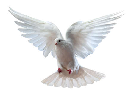 wing: A free flying white dove isolated on a white background Stock Photo