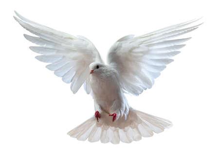 colomba della pace: Una colomba bianca volo libera isolata su uno sfondo bianco Archivio Fotografico